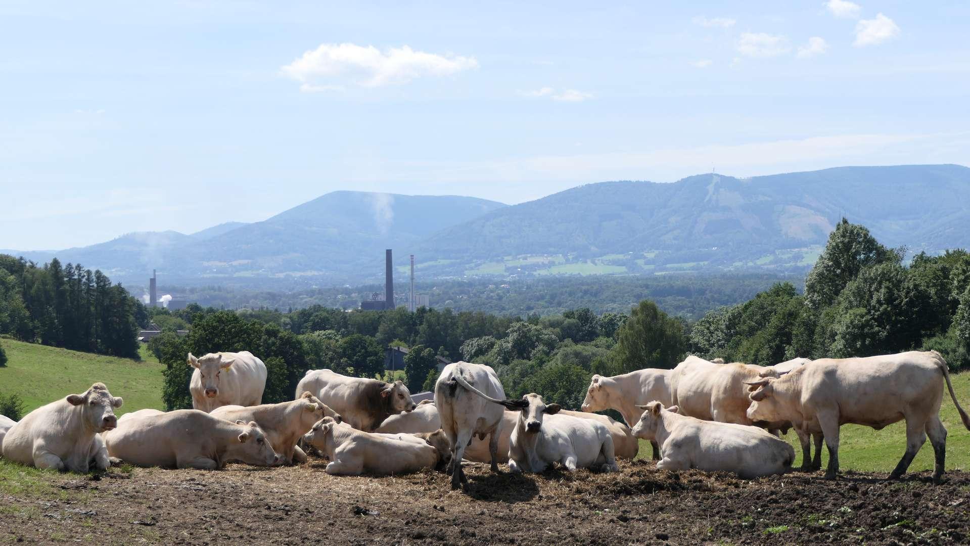 Białe krowy gdzieś w okolicach Kojkowic