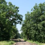 Dęby wzdłuż torowiska w okolicach Lasu Strzelbin tworzą naturalną, cienistą aleję.