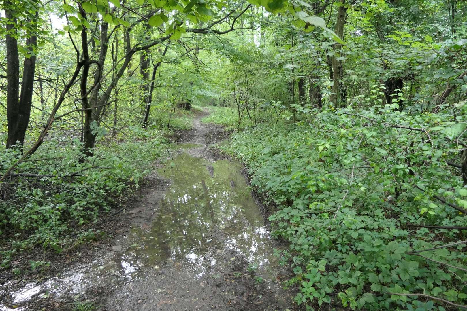 Trudno podziwiać autentyczne piękno lasu Bielowiec, gdy stale trzeba patrzeć pod nogi.