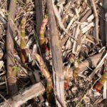 Młode pędy rdestowsca ostrokończystego już zaczynają kiełkować - za miesiąc te miejsca staną się całkowicie niedostępne.